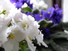 menekse (elffyvzz) Tags: pink white flower purble