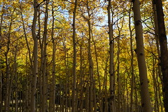 Aspens 9.27.15 (Dullboy32) Tags: trees fall leaves gold colorado fallcolors trail springs coloradosprings aspens aspentrees hikingmountain dullboy32 trail622