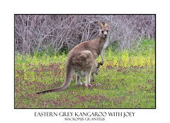 Eastern Grey Kangaroo with Joey (sugarbellaleah) Tags: flowers baby cute green beautiful field animal rural fur mammal countryside bush pretty purple native joey wildlife australian mother meadow adorable kangaroo pouch outback lime hop marsupial bushland macropusgiganteus easterngreykangaroo