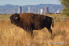 October 10, 2015 - A Bison takes a big whiff in front of Denver. (Bobby H)