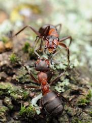 Wood Ants (Formica rufa) (-denju-) Tags: macro insect diy flash handheld makro insekt diffuser woodant photomacrography raynoxdcr250 waldameise nikond90 waldameisen rotewaldameise tamron60mm meikemk300
