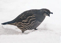 California Quail (Callipepla californica) (fugle) Tags: nevada quail californiaquail