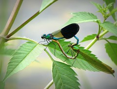 due cuori e ... un cuore ! (fotomie2009 OFF) Tags: calopteryx splendens mating accoppiamento damselfly banded damoiselle male maschio odonata insect insecta insetto