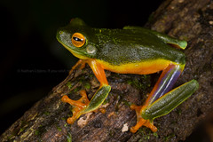 Cape York dainty tree frog, beautiful tree frog (Litoria bella) (runwildtv) Tags: cape far iron peninsula queensland york australia bella blue dainty frog graceful gracilenta green litoria male north orange papuan purple range red tree treefrog tropical