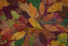 Autumn fall leafs wall art design (5) (Simon Dell Photography) Tags: autumn leafs leaves fall season winter color design wall art poster image simon dell photography white background awsome old new sheffield collection stunning xxx hackenthorpe photo war medals red yellow green brown