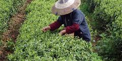 teagarden4 (Lambert gourmetfoods) Tags: tea nature dammann