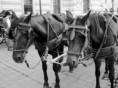 Saddest horses of the world (Greelow) Tags: greelow sony vienne vienna autriche austria horse city tourism touriste tourist maltraitance pain sad triste fatigue douleur emotion expression sadness tristesse tired labour work