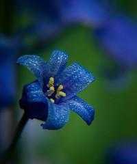 Forgotten But Not Lost (Katrina Wright) Tags: flower bluebell dsc0098 mac blue dew rain spring