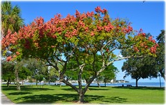 Northshore Park - St petersburg, Florida (lagergrenjan) Tags: northshore park st petersburg florida tree