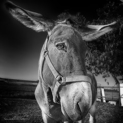 Quanta pazienza.. (Soloross) Tags: animal donkey asino portrait ritratto sun sole blackandwhite biancoenero pazienza patience nature natura country