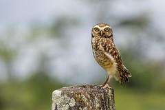 Burrowing Owl - Coruja Buraqueira (sostenesmonteiro) Tags: burrowing owl coruja buraqueira bird birds nikon d5200 sostenesmonteiro tote nature natureza
