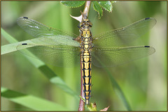 Black-tailed Skimmer (Full Moon Images) Tags: wildlife nature insect macro blacktailed skimmer dragonfly common darter southern hawker emperor