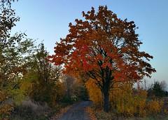 Drzewo (maciey24) Tags: tree road path drzewo jesień autumn fall colour colours kolory kolorowe kolorowy kolorowo droga ścieżka rośliny trees nature plants przyroda natura orange pomarańczowe pomarańczowy liście