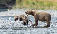 A Delicacy (Rick Derevan) Tags: alaska kodiak bear brownbear kodiakbrownbear kodiak2016 kodiaktrip2016 places
