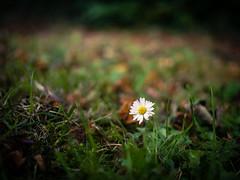 269/366 2016 - Autumn daisy (fishyfish_arcade) Tags: 20mmf17 gx7 lumix panasonic panasonic20mmf17asphlumixg daisy dof bokeh depthoffield 366 365