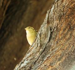 small sparrow (joybidge (0n vacation)) Tags: trishcanada naturepatternscanada mauihawaii bird birds