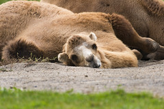 Bactrian Camel 08 (cypher40k Photography) Tags: color colour nikon bactriancamel toronto torontozoo zoo