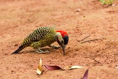 Green-barred Woodpecker (Cristofer Martins) Tags: birds bird greenbarredwoodpecker colaptesmelanochloros nature wildlife birdwatching brazilianbirds