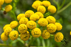 grappe jaune (Thierry Poupon) Tags: yellow fermedeportroyal boules fleur grappe jaune proxi ball blossom