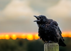 Jackdaw Sutton park (stevehimages) Tags: bird animal nature steve steveh stevehimages 2016 wowzers warden west midlands grandpas den jackdaw sunset shout out sutton suttoncoldfield