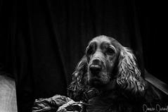 Cocker's Life (Superdam76) Tags: cocker noiretblanc silverefexpro2 bw blackandwhite dog chien gipsy truffe
