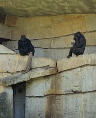 Gorillas at Berlin Zoo (Gilli8888) Tags: berlin berlinzoo germany gorilla apes mammals primates zoo zoopark animals
