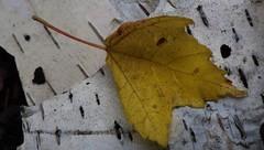 Autumn Yard Vignette - IMGP6489 (catchesthelight) Tags: birchbark whitebirch bark contrast autumn yellowleaf nh
