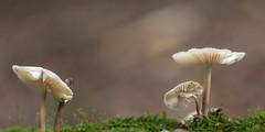 Fungus Photogenus (Role Bigler) Tags: canonef28100islmacro canoneos5dsr emmental macro makro mushroom natur nature pilz schweiz suisse switzerland bokeh forest fungi fungus wald wood