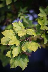 """Leaves"" (milmonfharrison) Tags: autumn 50mmf18 bokeh fall leaves seasons"