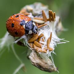 ladybug (Bnhidai Bea) Tags: ladybug macro macrodreams makro waterdrops raynox raindrops nature dandelion
