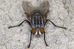 Flesh Fly (pointnshoot) Tags: canonef100mmf28lmacroisusm canonmacroringlitemr14ex fly delvalleregionalpark fleshfly sarcophagidae