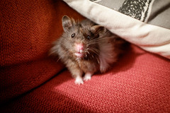 Churro (conradolson) Tags: hamster cute churro pet animal