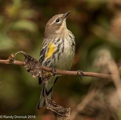 Pondering (rdroniuk) Tags: birds smallbirds passerines warblers yellowrumpedwarbler dendroicapetechia oiseaux passereaux parulines parulinecroupionjaune