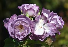 "Sunday`s Rose ""Blue for You"" (Eleanor (No multiple invites please)) Tags: flowers roses blueroses regentspark d7200 nikon october2016"