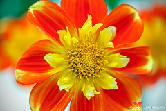 Dahlia-42 (Nualchemist) Tags: flower plant nature simplyflowers petals pink bloom green greenleaves floralphotography dahlia yellow red summer fullbloom botanical bright light floral heavenly macro orange 2016dahiashow colorful white closeup delightful glorious magical soft goldengatepark pretty palepink lightpink enchanting sanfrancisco singleflower cheerful joyful delight california colors palette botanicalgarden organicpattern purple lavender designbynature geometric elementsofdesign silky velvet softlight veil tender flame fire satin translucent