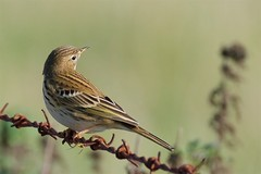 Meadow Pipit (redmanian) Tags: meadow pipit