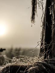 Untitled (Wouter de Bruijn) Tags: fujifilm xt1 fujinonxf35mmf14r sunrise dawn morning dew ripe water drop droplet rope depthoffield bokeh outdoor fence fog mist haze