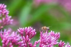Maja (pmenge) Tags: denver botanicgarden flor flower abelha bee 18135 xt1