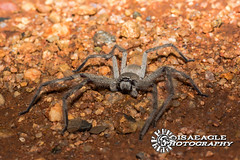 Spider Stance (Isaeagle) Tags: mountisa queensland australia animals wildlife spider 8legs outback outside outdoor outdoors nightphotography macro