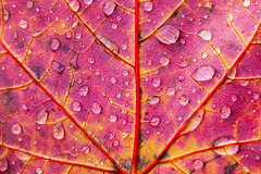 IMG_8957 (manleyaudio) Tags: canon5dmark2 canon 5dmarkii 5dmkii 100mm macro 100mml l lens fall leaves color water drops rain