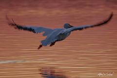 Pelican in Pink (Alfred J. Lockwood Photography) Tags: alfredjlockwood nature wildlife bird pelican americanwhitepelican twilight sunset evening whiterocklake water lake flight dallas texas autumn