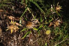 nicht identifiziert; Esperanza, Teneriffa (4) (Chironius) Tags: unidentified plant teneriffa spanien frucht fruit frutta owoc fruta  frukt meyve    buah puertodelacruz spain  espaa tenerife