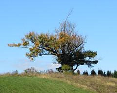 Lone tree on hilltop (Joel Abroad) Tags: blueridgeparkway northcarolina fallfoliage autumnleaves osbornemountain lonetree hilltop