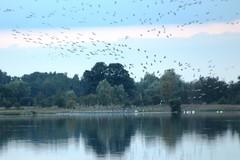 Kranich (Grus grus) (2), NGID1006431264 (naturgucker.de) Tags: ngid1006431264 naturguckerde kranichgrusgrus müritznationalpark ckarolaapel