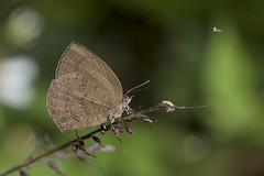 / Arhopala paramuta horishana (Matsumura, 1910) (Sam's Photography Life) Tags:   arhopala paramuta horishana        nature butterfly insect canon 1dx 100mm night