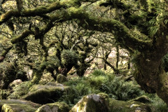 The Enchanted Forest (Andy Davey Photography) Tags: dartmoor trees wood oak moss lichen enchanted magical mystery forest wistmanswood nikond750