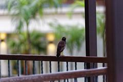 20161010-4143-OP11.jpg (Michel Delfeld) Tags: thailande khaolak oiseau hotel