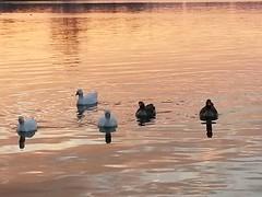 oies sur le lac d'Enghien (Chaufglass) Tags: oie lac enghienlesbains oiseau