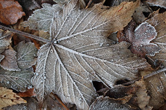 (mennomenno.) Tags: bladeren leaves vorst frost autumn herfst nature natuur
