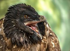 Bartgeier (Klaus Wilk) Tags: bird greifvogel hellenthal greifvogelstation adler eagle prey natur animals nature bartgeier geier portrait tierportrait
